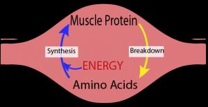 Figure-1-Muscle-metabolism